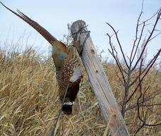 Pheasant on fense post